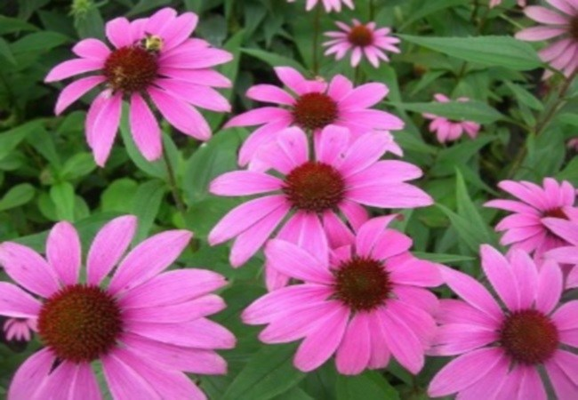 Echinacea For Cold Sores