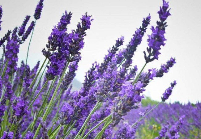 Lavender For Fleas