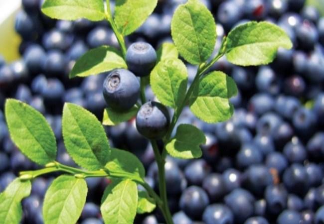 Bilberry For Spider Veins