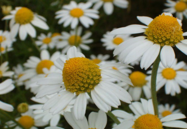 Chamomile For Tension Headaches