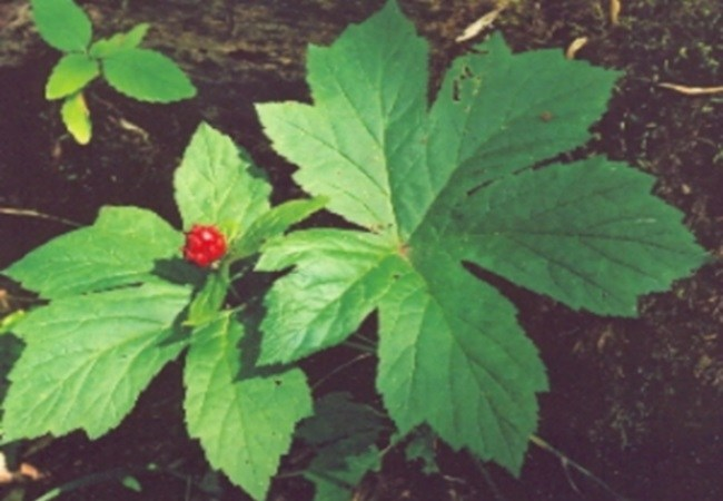 Goldenseal For Tension Headaches