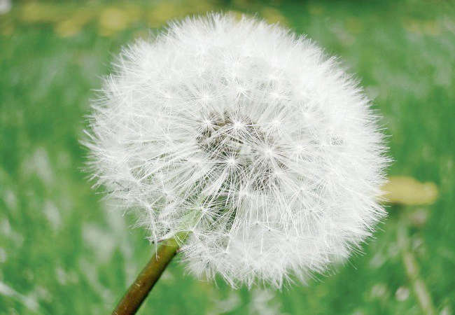 Dandelion To Get Pregnant