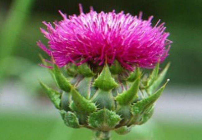 Milk Thistle For Alcohol Cravings