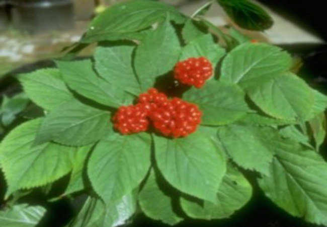 Indian Ginseng For Alcohol Cravings