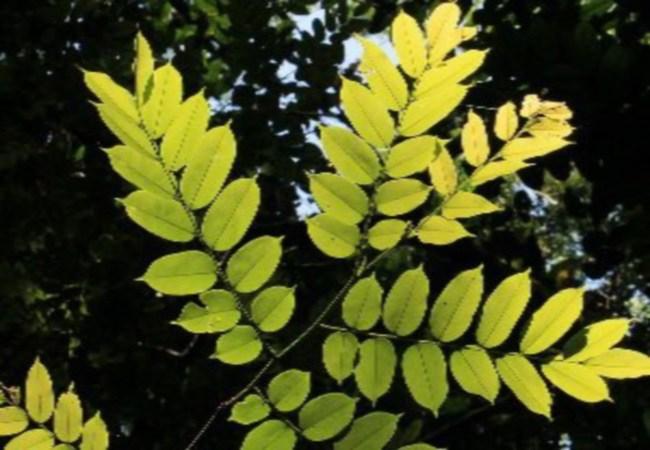 Pterocarpus For Type 2 Diabetes