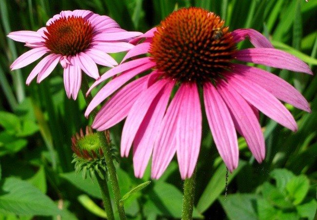 Echinacea For Tension Headaches