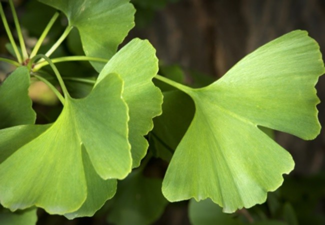 Ginkgo For Tension Headaches