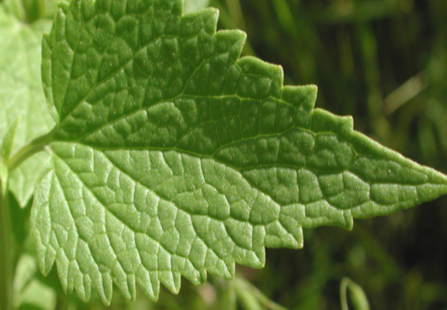 Nettle Leaf To Get Pregnant