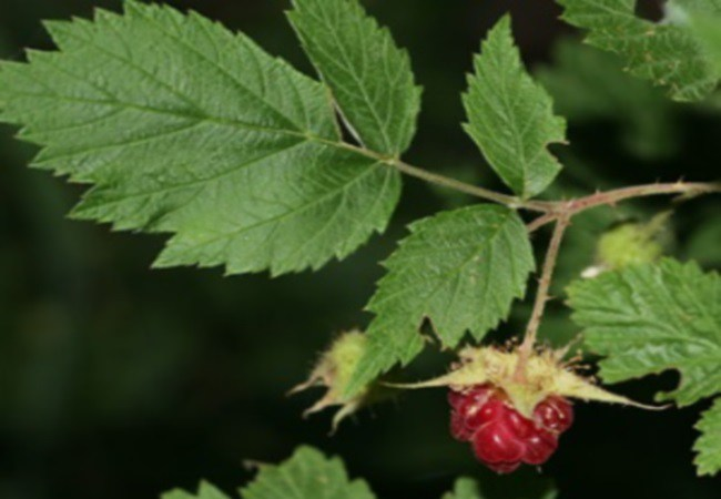Red Raspberry Leaf To Get Pregnant